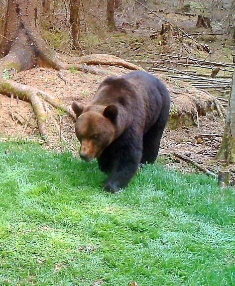 Riistakameraan voi tallentua vaikka karhu.