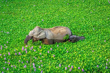 Pikkunorsu yrittää pysyä emonsa perässä Intiassa.