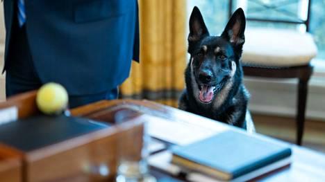 Bidenien Major-koira tutustui Valkoiseen taloon 4. maaliskuuta.