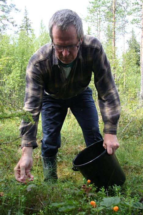 Taivalkoskelainen Markku Paloniemi tietää kuntansa parhaan hillaseudut, mutta ei mielellään niistä muille huutele. Hillaa löytyy vielä paikoista, joista vain kokenut marjastaja osaa etsiä.