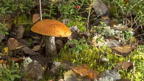 Sienet ovat metsien pieniä aarteita. Kuvassa koivunpunikkitatti.