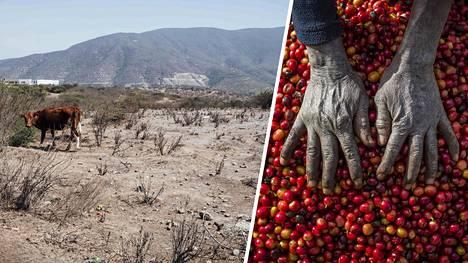 Ilmastonmuutos muuttaa raaka-aineiden saatavuutta. Lehmä laiduntamassa kuivalla pellolla Valparaisossa Chilessä viime marrakuussa ja työmies kahvipapuja erottelemassa Sambian Lusakassa.