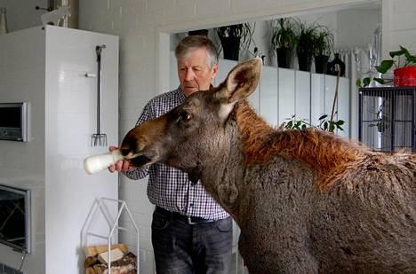 Urho on puolivuotias hirvenvasa, jota on ruokittu tuttipullolla Markku Harjun villieläinhoitolassa.