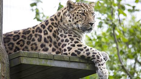 Amurinleopardi.