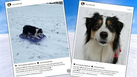 Omatoiminen koira laskee pulkalla mäkeä uudestaan ja uudestaan