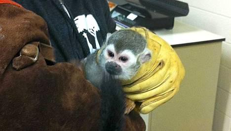 San Franciscon eläintarhasta viime viikolla varastettu oravasaimiri Banaani-Sam löytyi lauantaina ja palautettiin eläintarhaan.