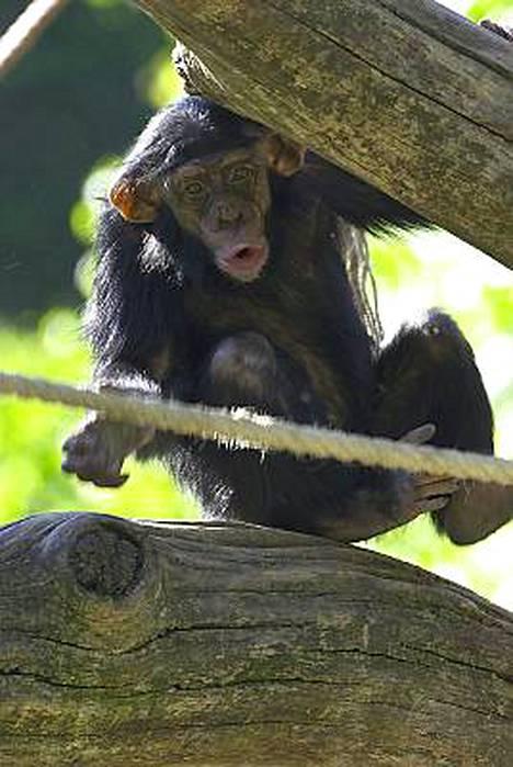 Simpanssien leikkejä pääsee seuraamaan lähietäisyydeltä.