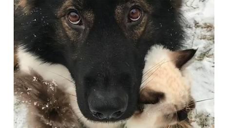 Suomalainen Julius-koira suojelee kissanpentua – video hurmannut miljoonat katsojat ympäri maailman
