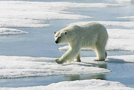 Jääkarhu on suloisen näköinen, mutta julma peto.