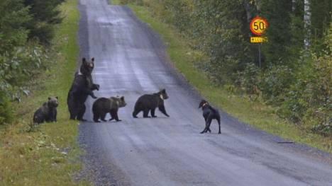 Elvis-koira piti karhuperhettä haukussaan sen aikaa, että Konsta Kauppinen sai ikuistettua sen kamerallaan.