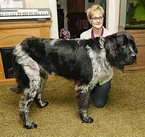 81-kiloinen Boomer saattaa olla maailman suurin koira.