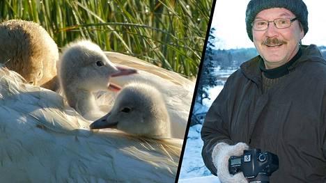 Kolmen laulujoutsenen poikasen kuoritumisen taltiointi läheltä on Hannu Siitosen luontokuvausuran huippuhetkiä.