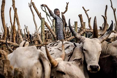 Vaalikarjaa. Nigerialaispoika paimentaa karjaa Nguroressa. Laiduntavien eläinten kanssa vaeltavien nomadien yhteenotot maanviljelijöiden kanssa ovat aiheuttaneet jo tuhansia kuolonuhreja, mikä on kuuma aihe Nigerian tämän viikonlopun vaaleissa.