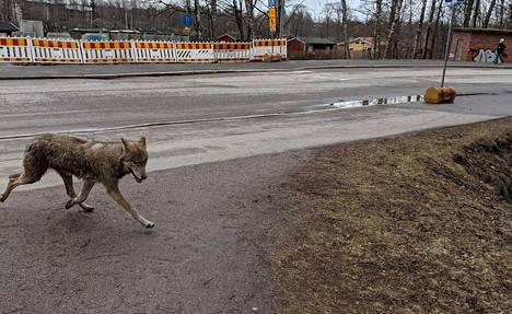 Lauantaina havaittu susi liikkui Pitäjänmäestä Pajamäen suuntaan.