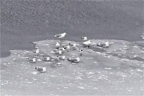 Jäälokit ovat muita valkoisempia, harmaalokit muita isompia, naurulokit huppupäisiä, kalalokit enemmistönä.