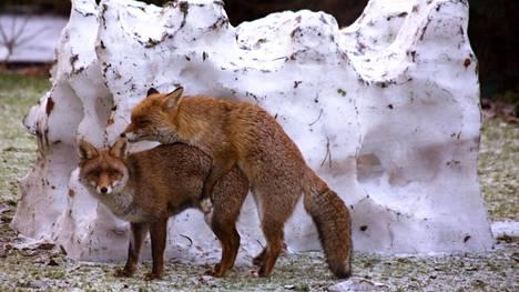 Eri ketut kuin Heinolassa, sama meininki. Tätä kuvaa otettaessa ei ole vahingoitettu eläviä luontokappaleita. Päinvastoin.