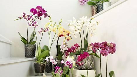 Orkidean hoitoa pidetään vaikeana. Tosiasiassa kyseessä on helppohoitoinen kasvi, kertoo Plantagen.