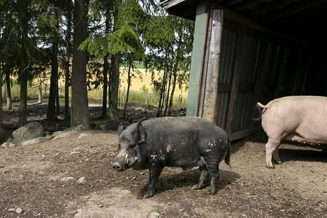 Osku on Tuulispään ihmisystävällisin sika, vaikka sillä onkin torahampaat.