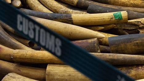 Kuva on Hongkongin tullin helmikuun alussa tekemästä norsunluutakavarikosta.