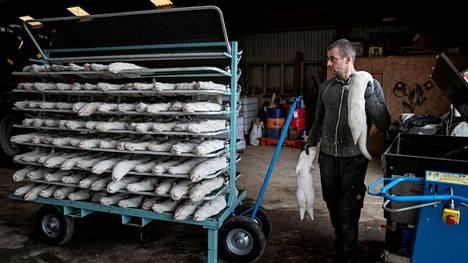 Lopetettuja minkkejä Naestvedissa sijaitsevalla turkistarhalla. Hallitus on myöntänyt tehneensä virheen, kun se antoi kaikille maan turkistarhoille määräyksen hävittää minkit.