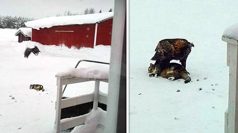 Kotka iski Tupsu-kissaan aivan ranualaisen talon pihapiirissä Lapissa.