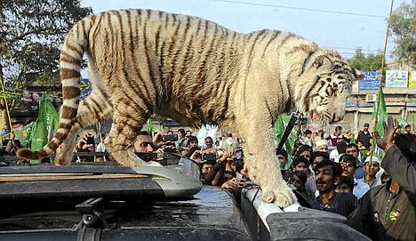 Tiikeri otti osaa mielenosoitukseen Pakistaninssa. Mieltä osoitetaan, kun maa ei pysty tuottamaan tarpeeksi sähköä