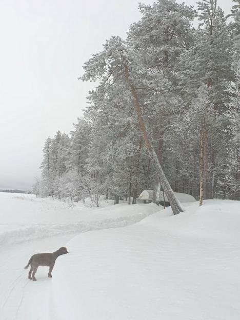 – Selma on rodultaan lagotto romagnolo, jota kutsutaan myös vesikoiraksi. Selma rakastaa lunta ja vettä, Nordberg kertoo.