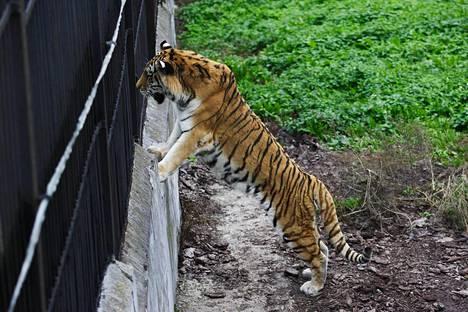 Tiikeri Kaliningradin eläintarhassa.