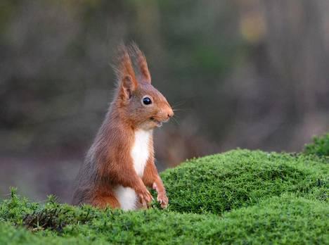 Hymyilevä orava Hollannista.