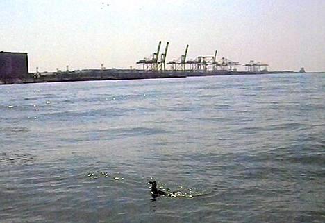 Pingviini uiskentelee Tokionlahden vesillä, jossa sen pelätään kuitenkin olevan vaarassa.