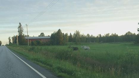 Valkoinen hirvi kiinnitti autoilijaparin huomion sunnuntai-iltana Pohjanmaalla.