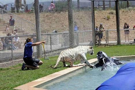 Harwell pelastui, kun tiikeri keskittyi lempileluunsa.