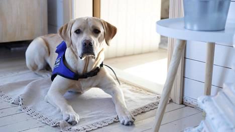 Labradorinnoutajia käytetään paljon opas-, avustaja- ja virkakoirina. Kuvassa avustajakoira Late, joka on diabeetikon verensokerin vaihtelua tarkkaileva hypokoira.