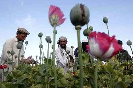 Afganistan on maailman suurin oopiumunikon tuottaja.