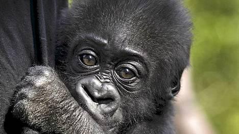 Nyt näet Kolmårdenin Enzo-gorillan ja muut villieläimet aivan läheltä.