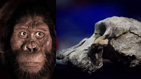 Vasemmalla rekonstruktio Australopithecus anamensiksesta ja oikealla aito kallo.