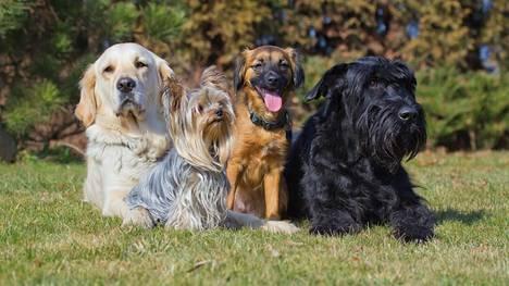 Mopsi, corgi, mäyräkoira... Kuinka hyvin tunnistat koirarodut? Testaa!