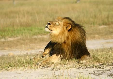 Cecil eli suojellulla Hwangen kansallispuiston alueella, josta se houkuteltiin ulos 1. heinäkuuta auringon laskeuduttua.