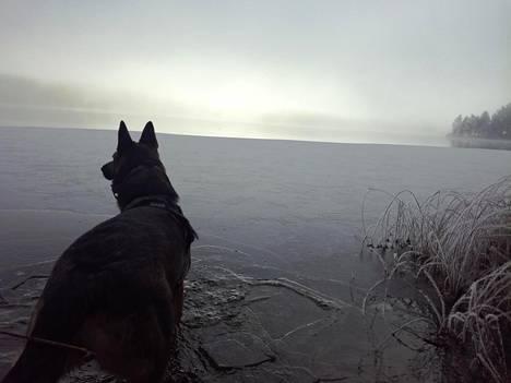 Saksanpaimenkoira Siri tutkii talvimaisemaa Saimaan rannalla.