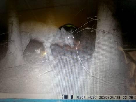 Riku Häkkisen riistakamerassa irvistävä susi nostattaa katsojan karvat pystyyn.