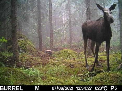 Hirvi hämmästelee riistakameran takana avautuvaa metsää - tai jotain aivan muuta.