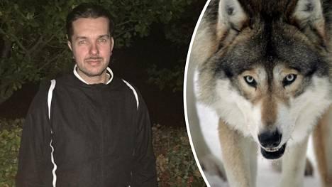 Kari Kankaanpää kertoi IS:lle kohtaamisestaan susien kanssa. Kuvan susi asustaa Ähtärin eläinpuistossa.