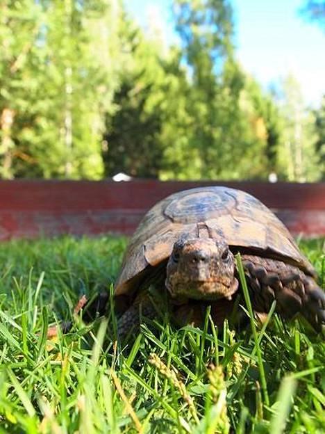 Kilpikonna Nikke on vaihtolämpöinen.