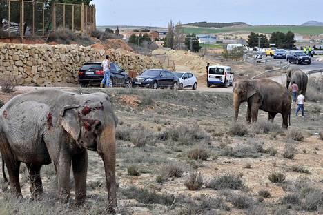 Loukkaantunut elefantti käyskenteli tovereidensa kanssa moottoritien pientareella onnettomuuden jälkeen.