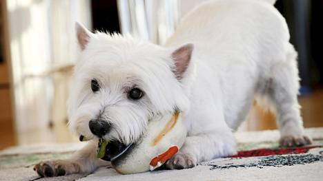Pyry-koira on nykyään Joona Jalkasen koira.