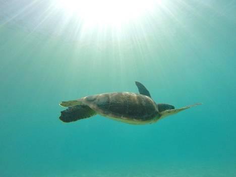 Merikilpikonnia näkee usein rantojen tuntumassa ja liki varmasti veneretkillä.
