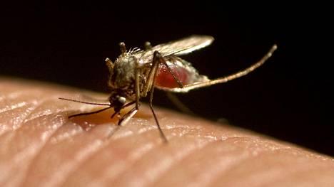 Hyttysenpisto on tavallisin tapa saada jänisrutto.