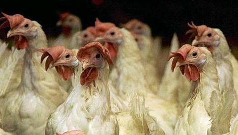 Japanin siipikarjatiloilta on löytynyt paikallisia lintuinfluenssaepidemioita.