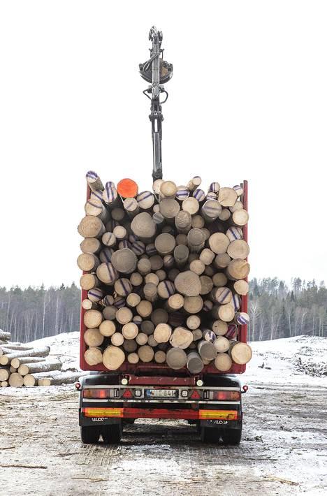 Jarkko Tiittanen ajoi oranssipäisen Otto Jaakkosen kuusen Otavaan. Päivässä sahalle tulee yli 50 rekkalastillista.