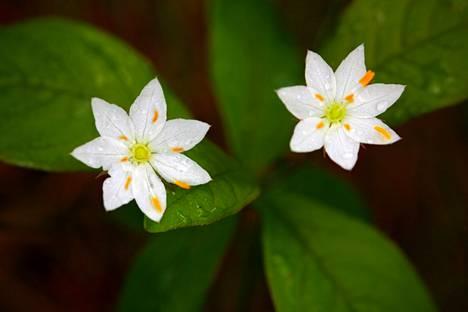 Metsätähden kukka on tähden muotoinen, ja sen terälehtien kärjet ovat terävät.